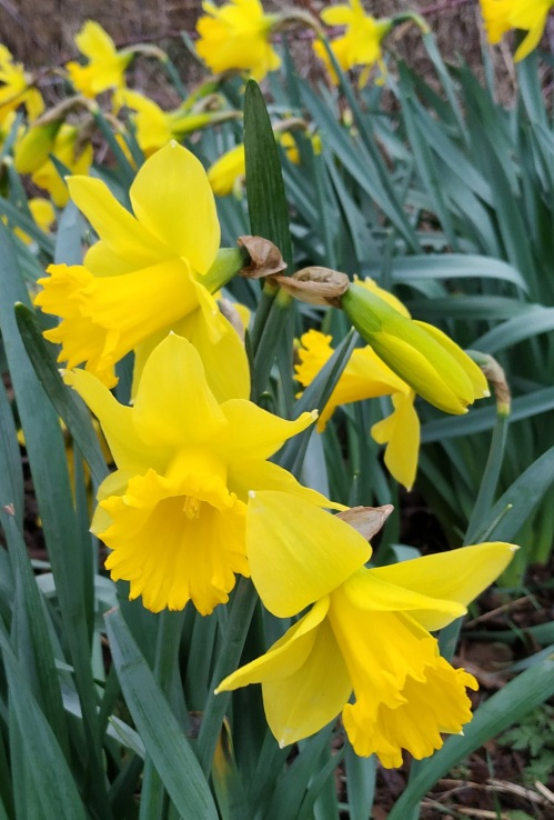 Daffodils along the Rea