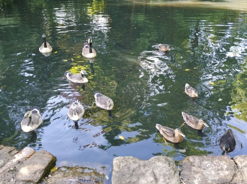 Waterfowl in the park
